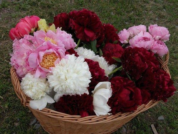 Langage Des Fleurs Pivoine : langage des fleurs la pivoine et ses couleurs ~ Melissatoandfro.com Idées de Décoration